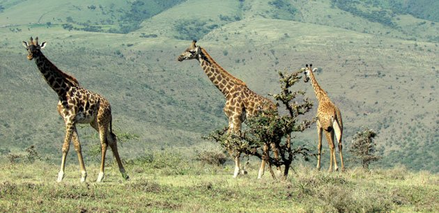 Three giraffes walking in grass